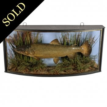 Edwardian Cased Brown Trout
