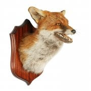 20th Century Taxidermy Fox Head SOLD